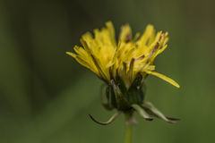 Yellow dandelion after rain in spring Royalty Free Stock Photos