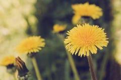 Yellow dandelion retro color Royalty Free Stock Photos