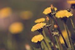 Yellow dandelion retro color Stock Photos