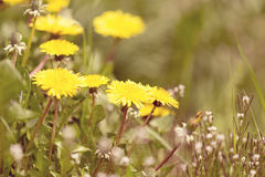 Yellow dandelion retro color Stock Photo
