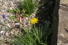 Yellow dandelion rose against a stone wall stock photo