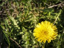 Yellow Dandelion Stock Images