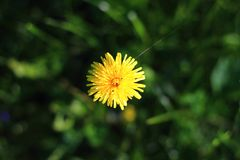 Yellow dandelion. With spider web stock images