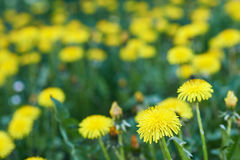 Yellow dandelion. Yellow spring flowers blooming meadow Stock Images