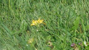 Yellow dandelion spring flowers watering. Yellow dandelion spring flowers blossom on a flower bed in drops of water from a close-up watering stock video footage