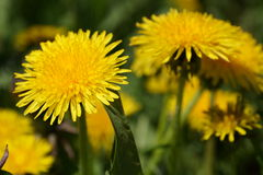 Yellow dandelion. Spring dandelion yellow joy warm Royalty Free Stock Image