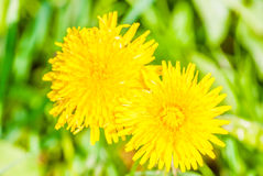 Yellow dandelion in spring Royalty Free Stock Photo