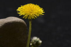 Yellow dandelion in sunny day. Stock Photography