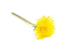 Yellow dandelion taraxacum. Stock Photos