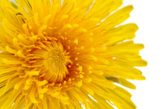 Yellow Dandelion (Taraxacum Officinale) Flower Close-Up on White Background Stock Photos