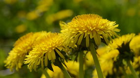 Yellow dandelion (Taraxacum officinale) flowers in  wind Stock Photo