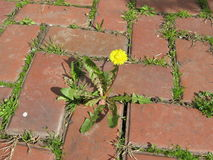 Yellow Dandelion, taraxacum officinale, growing on pavement. Yellow Dandelion, taraxacum officinale growing Stock Photography