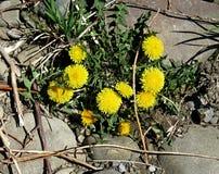 Yellow Dandelion, taraxacum officinale, growing on pavement. Yellow Dandelion, taraxacum officinale growing Royalty Free Stock Photos