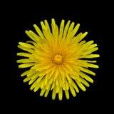 Yellow Dandelion - Taraxacum officinale  Isolated. Taraxacum officinale -  Beautiful Yellow Dandelion Flower Isolated on Black Background Stock Photography