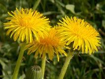 Yellow dandelion. Three yellow dandelions up close Royalty Free Stock Photography