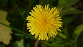 Yellow dandelion trembling in the wind close up shot. Static camera. Yellow dandelion trembling in the wind close up shot stock video