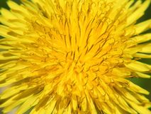 Yellow dandelion under for the frame background royalty free stock photography