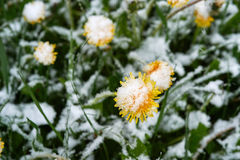 Yellow dandelion under the snow. Single dandelion in May of snow, snow snow Royalty Free Stock Image