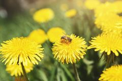 Yellow dandelion with wasp closeup. Flower background. Yellow dandelion with wasp. Flower background of spring meadow, closeup stock images