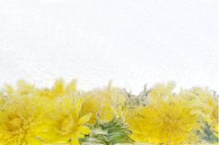 Yellow dandelion in water Royalty Free Stock Photos