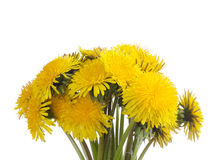 Yellow dandelion on a white. Yellow dandelion isolated on a white background stock photo