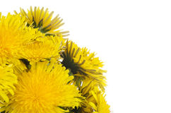 Yellow dandelion on a white royalty free stock images