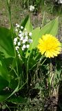 White Lily of the valley and yellow dandelion bloom nearby royalty free stock images