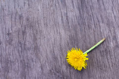Yellow dandelion on the wood Royalty Free Stock Image