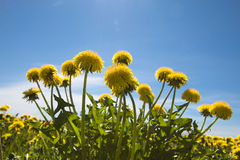 Yellow dandelions. In the meadow clear solar summer's day royalty free stock photos