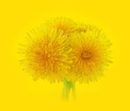 Yellow dandelions Stock Images