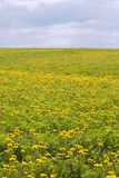 Yellow dandelions. Stock Photos