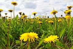 Yellow dandelions. Royalty Free Stock Image