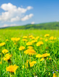 Yellow dandelions. In the mountains in the spring royalty free stock photo