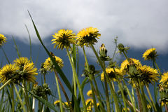 Yellow dandelions. On a background of clouds Royalty Free Stock Photography