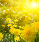 Yellow dandelions Royalty Free Stock Photo