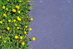 Yellow dandelions and asphalt background Stock Image
