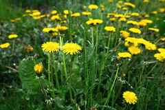 Yellow dandelions on a background of green grass Stock Image