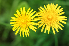 Yellow dandelions. Beautiful yellow dandelions on a green background Royalty Free Stock Photo