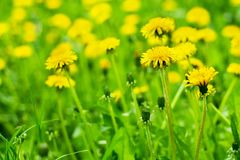 Yellow dandelions bloom in green grass on sunny day close up on blurred background, blossom blowballs flowers on spring lawn stock photography