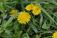 Yellow dandelions. Blossomed with new colors Royalty Free Stock Photo