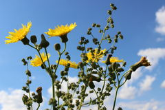 Yellow dandelions. With blue sky Stock Image