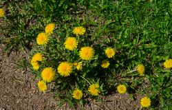 Yellow dandelions. Bright flowers dandelions on background of green spring meadows. stock image