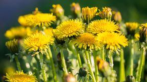 Yellow dandelions. Bright flowers dandelions on the field. royalty free stock photography