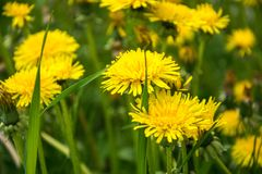Yellow dandelions. Bright flowers dandelions on the field. stock photo