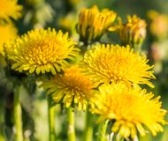 Yellow dandelions. Bright gold flowers dandelions on the meadows. stock image