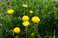 Yellow dandelions. Bright yellow dandelions in lush greenery on a Sunny day Stock Photography