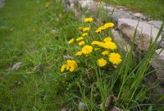 Yellow dandelions bunch