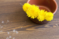 Yellow dandelions. In clay pot on a wooden surface royalty free stock image