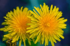 Yellow dandelions close-up on a dark background. Macro, soft focus stock photography