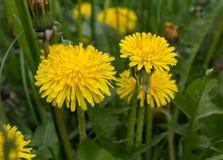 Yellow dandelions close-up Stock Photo